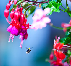 Buzzing around (Steve-h) Tags: pink flowers blue ireland red dublin green nature yellow insect flying europa europe purple action wildlife blossoms flight eu fuschia bee hangingbasket steveh iso1000 superaplus aplusphoto canoneos5dmarkii artofimages bestcapturesaoi elitegalleryaoi mygearandmepremium mygearandmebronze mygearandmesilver mygearandmegold mygearandmeplatinum canonef70200mmf28lisiiusm
