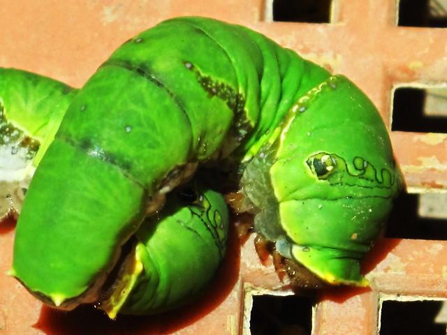 IMG_1891 Green Larvas