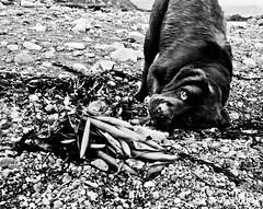 The nature of dogs 2 (Peter Hodge) Tags: dog labrador rosie chocolatelabrador