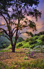 Ojai (h_roach) Tags: california sunset summer tree landscape oak ojai flickraward selectbestexcellence sbfmasterpiece