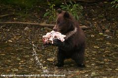 fish_creek_100809_218 (graemej) Tags: bear black alaska fishing rainforest britishcolumbia unitedstatesofamerica salmon tongassnationalforest stewart salmonriver grizzly hyder spawning chum fishcreek alaksa fishcreekwildlifeobservationsite ursusamericanis ursushorbillis