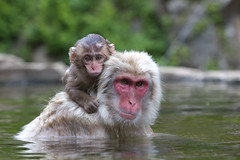 Bathtime (Masashi Mochida) Tags: baby snow monkey mother bathtime naturesfinest coth supershot specanimal abigfave impressedbeauty rubyphotographer alittlebeauty