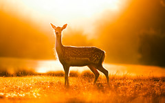 majestic (andrew evans.) Tags: lighting morning summer england sun nature fairytale forest sunrise golden countryside kent nikon bokeh wildlife warmth deer ethereal flare wonderland storybook magical 70200 f28 enchanted d3