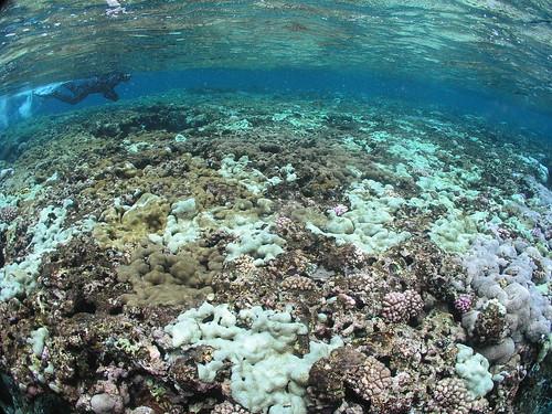 研究人員正在調查蘭嶼土地公廟三米處大面積菟葵與軟珊瑚中度與嚴重白化(郭兆揚 攝)