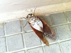 cicada is dead