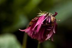 Pink In Demise (raisinsawdust - (aka: tennphoto)) Tags: light color petals nikon bokeh tennessee gerbera daisy wilted f28 wilting gerber 2010 gerberdaisy 105mm gonetoseed d90 nikond90