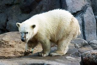 Polar Bear (Siku) Playing