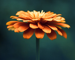 A flower cannot blossom without sunshine, and man cannot live without love. (CarolynsHope) Tags: blue orange flower color colour floral contrast petals nikon colorful dof vibrant petal zinnia zinnias d90