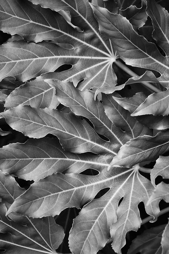Layered Leaves in Black and White