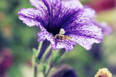 (dreamwhile) Tags: flower macro closeup colours bee