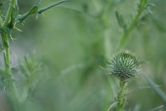thistles (hanabi.) Tags: summer flower thistle bud azami