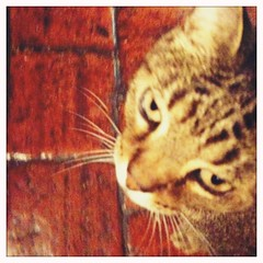 Nestor - 21Aug10, Island (France) (]) Tags: blur animal cat square blurry chat kitty helga viking flou carr iphone nestor blanko helgaviking iphoneography hipstamatic