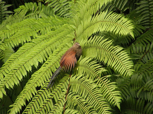 Cucal de Madagascar (Centropus toulou)