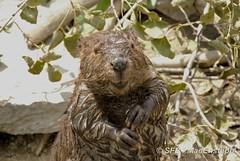 Castor (MacEnsteph) Tags: canada beaver qubec castor parcomega montebello omegaparc