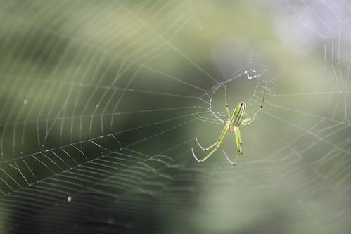 這隻蜘蛛是綠色的,而且我難得拍到他的蜘蛛絲耶