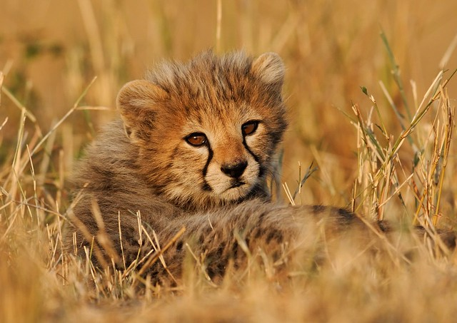 Cheetah Cub, staring at the Sun