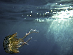 Sul palco del mare un balletto (Lumase) Tags: blue sea topf25 swimming square bravo elba jellyfish underwater surface tuscany medusa soe dreamcatcher naturesfinest isoladelba supershot zuccale pelagianoctiluca anawesomeshot natiresfinest medusaluminosa