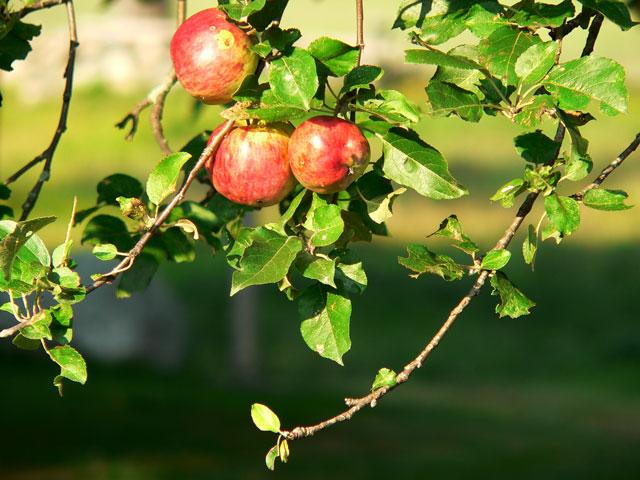 apples2_sept10