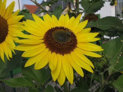 Sonnenblumen2010