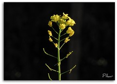 Spring is coming soon.. (Pilkar) Tags: springflowers floresporlapaz awesomeblossoms lasfloresquenoshacenfelicesatodos