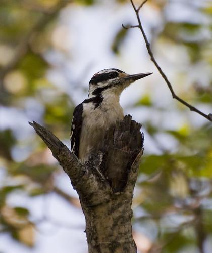 Hairy Woodpecker prime
