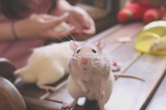 "Impossible not to say ""Aaaaaw"" :) (Honey Pie!) Tags: cute nose rat sweet adorable moustache whiskers explore bigode paws schroeder focinho fancyrat ratazana explored"
