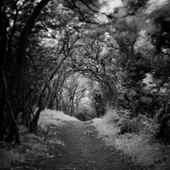 Tunnel (M2259032 E-M1ii 18mm iso200 f5.6 13s) (Mel Stephens) Tags: 43 fourthirds mmf3 zuiko 918mm bw black white silver efex square plants plant tree tunnel wormit scotland uk 20170625 201706 2017 q2 olympus omd em1ii ii m43 microfourthirds mirrorless longweekendcatsittingindundee best le long exposure june nature geotagged