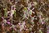Esta planta silvestre es realmente llamativa y se llama Lavandula Stoechas. Se la conoce comúnmente con los nombres de   Cantueso o Tomillo borriquero. Es un arbusto Ramoso y  muy aromático.  Produce mucho néctar usada en apicultura. (EMferrer) Tags: cultivarplantas plantaornamental flores lavandula jardineria tomilloborriquero florido infusion instaflower capulloflor plantas estambre petalo florsilvestre botanica floracion tiesto objetofloral maceta cantueso flor aromatetapia planta floral primaveral lavandulastoechas enriquemalaga naturaleza primavera