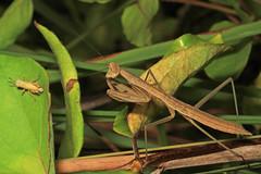 Praying Mantis and prey, Merrimac Farm Wildlife Management Area, Aden, Virginia (judygva) Tags: