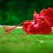 a fallen flower...