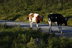 Guddal (dese) Tags: june27 2017 sunnfjord kveld summer evening sognogfjordane vestlandet norway june sommar 2 to two