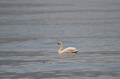Lonely swan (dfromonteil) Tags: swan cygne bird oiseau white blanc lake lac eau water nature animal reflets light lumière