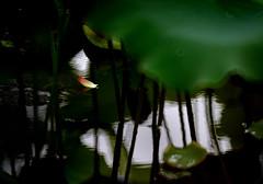 Lotus 荷花 (MelindaChan ^..^) Tags: lotus 荷花 macau 澳門 plant flower green petal chanmelmel mel melinda melindachan bokeh leaf stem