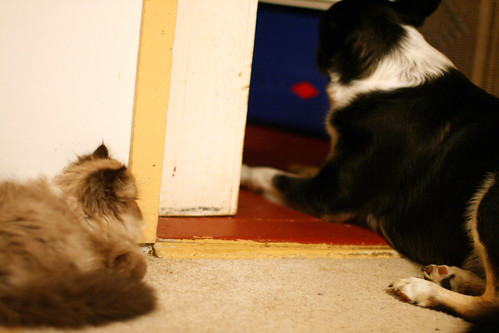 Tenzing the kitten watching Misty our border collie.