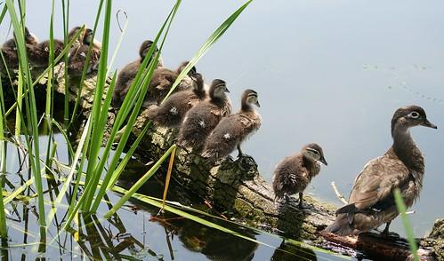Wood ducks on a log