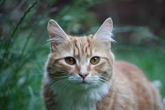 IMG_3297 (chrisgandy2001) Tags: cute cat ginger kitten tabby longhair fluffy pussycat longhaired gingertabby britishdomestic