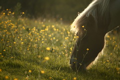 Buttercup beauty (jillyspoon) Tags: horse sun field weed eating backlit grazing mane buttercups flickrduel canon450d canon55250mm canon450dukusers