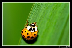 Coccinelle (pascal.49) Tags: ladybird soe marienkfer mariquita coccinella