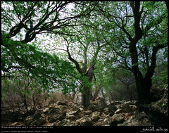 Tamarind and Boabab Forest in Hashir Mountain, Mirbat, Dhofar (Shanfari.net) Tags: trees mountain tree nature lumix raw natural panasonic malvaceae fabaceae oman fz  boabab ayn jebel jabal ain jebal zufar digitata rw2 indica salalah hashir sultanate dhofar  tamarindus  khareef    mirbat adansonia     tamarindusindica dufar adansoniadigitata aqabat       dhufar governorate  aqbat dofar fz38 marbat  fz35 dmcfz35