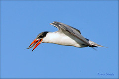 0327_2665 Caspian Tern with a Fish - Longreach Waterhole NT (alwynsimple) Tags: birds nt elliott alwyn birdsfishing longreachwaterhole