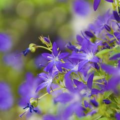 The tender Savagery of Campanula (Vainsang) Tags: summer macro fleur nikon creative moment t campanula campanule 25faves d40x vanagram