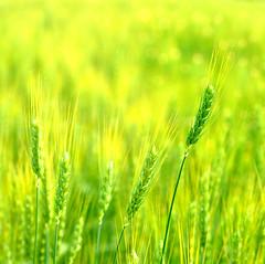 new wheat (tonnyc) Tags: macro texture field bokeh wheat grains ohhh vanagram