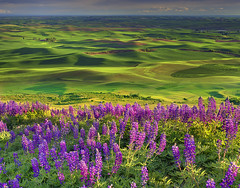 Lupine Spring In The Palouse (kevin mcneal) Tags: rural spring lupine palouse steptoebutte thepowerofnow