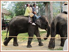 Riding on the Asian Elephant (Elephas maximus) at the Kuala Gandah Elephant Conservation Centre