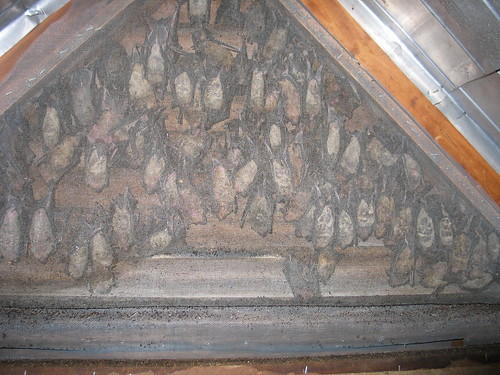 Bat Infestation at my Aunt's House