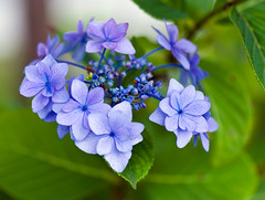 Blue Hydrangea Blooms In June (aeschylus18917) Tags: flowers blue flower macro nature japan season spring nikon seasons purple  hydrangea   pxt hortensia rosales 105mm 105mmf28  hydrangeamacrophylla hydrangeaserrata hydrangeaceae magnoliopsida  105mmf28gvrmicro cornales  gakuajisai asterids d700 nikkor105mmf28gvrmicro  nikond700 danielruyle aeschylus18917 danruyle druyle   hydrangeacear