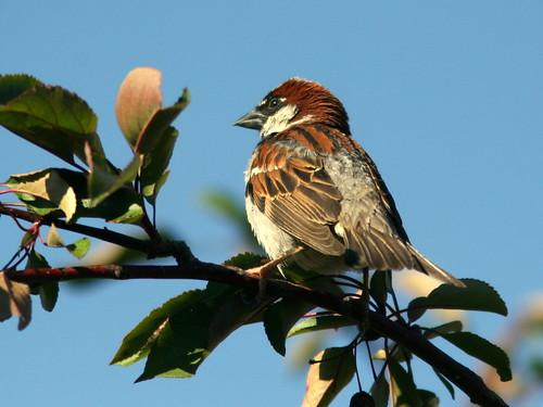 House Sparrow 20100619