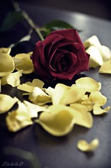 Te Amo (! S3o0o0oD !) Tags: red roses usa flower beautiful rose portland romance romantic states qatar      qatari      s3o0o0od