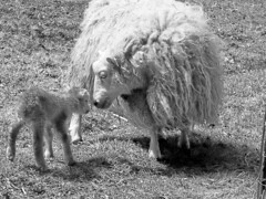 Kitty and Lamb at Shepherds Bay Farm/Photo copyright Kathryn Sletto