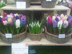 Hyacinths (Alwyn Ladell) Tags: chelsea flowershow rhs royalhorticulturalsociety royalhospital